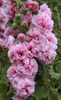 Double Pink Blossom Hollyhock Seeds