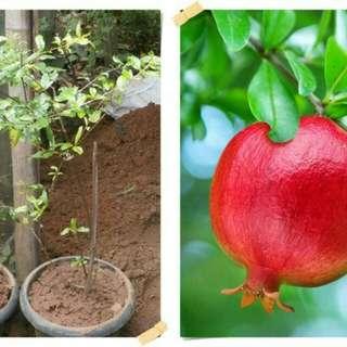 Bibit buah delima