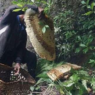 喜马拉雅横断山脉的野生岩蜂蜜专 治哮喘 咳嗽 原生态 300克