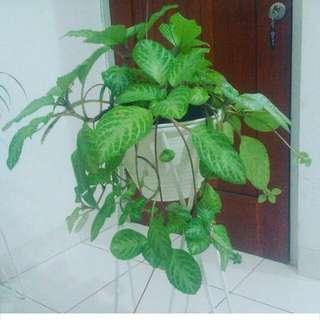 Episcia tanaman jadul