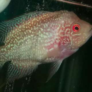 Ikan Louhan GB Line Pasundan