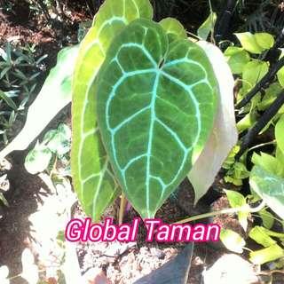 Tanaman daun kuping gajah / Pohon kuping gajah
