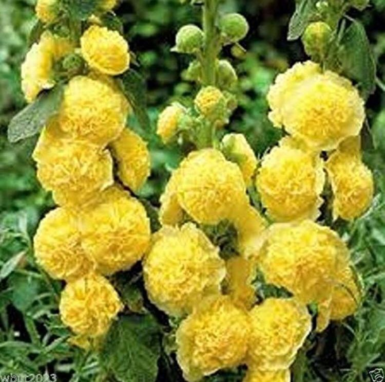 Double Yellow Blossom Hollyhock Seeds