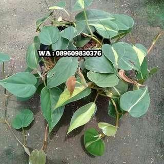Tanaman Hias  Philodendron  Brazil (Philodendron Cordatum )