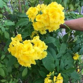 Yellow bells (Tecoma Stans) tree