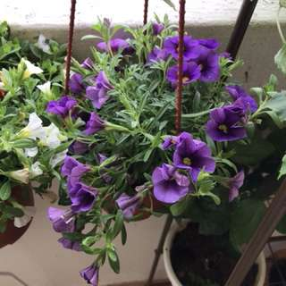 Mini petunia plant in Hanging pot