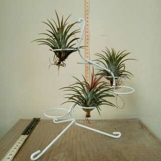 3 tillandsia + iron  rack.