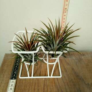 Airplants : two tillandsia ionatha + iron  rack.