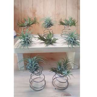 AIR PLANTS WITH FREE STAND