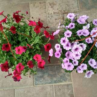 Petunia - hanging plants