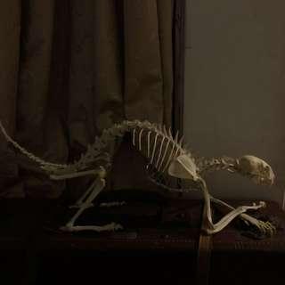 🚚 真貓骨架 骨骼標本