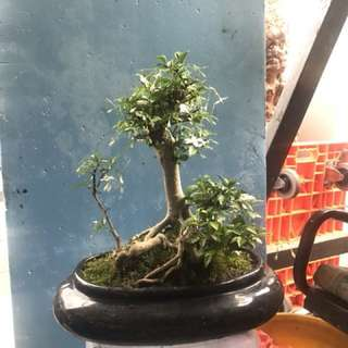 Bonsai shui mei