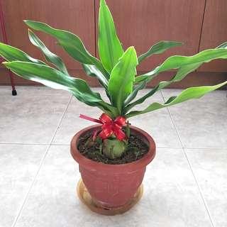 Crinum Superbum Plant