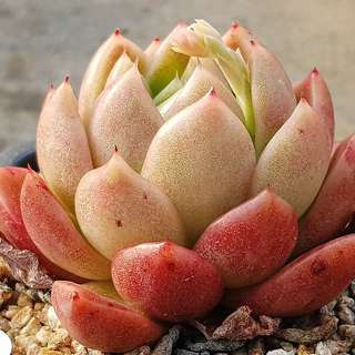 😍RARE SUCCULENTS: R017 - Echeveria Agavoides Prolifera (FIRST COME FIRST SERVE! VERY LIMITED STOCKS!)😱