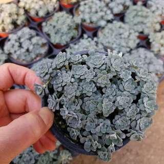 😍RARE SUCCULENTS: X097 - Sedum Spathulifolium (FIRST COME FIRST SERVE! VERY LIMITED STOCKS!)😱