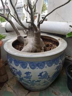 Desert Rose with porcelain pot