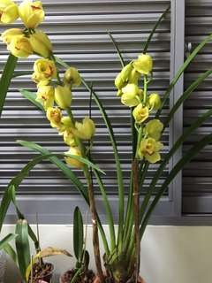 Cymbidium Orchid 2 Flower spike