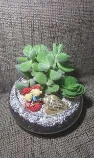 Rare Bear Paw Succulent Terrarium