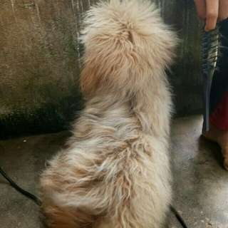 Anak anjing umur 6bln (cewe) tekkelmixshihtzu (longhair)