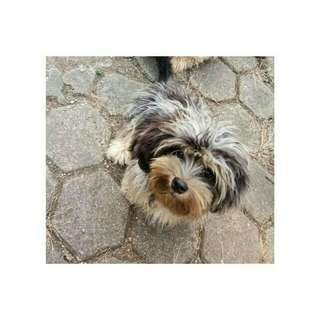 Anak anjing 6bln tekkelmixshihtzu (longhair)
