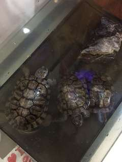 Giving away red eared sliders