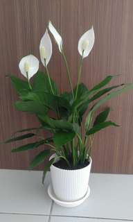 Purifing Plant - Peace Lily