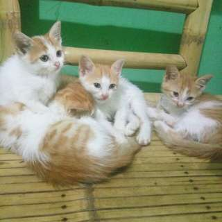 Anak kucing persia campuran (kittens)