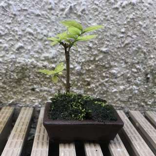 Wrightia Religiosa/水梅/Water Jasmine Bonsai Mini Bonsai