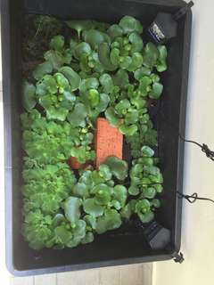 Floating plants - water hyacinth and water lettuce