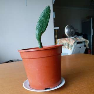 Potted cactus...It can be grown much bigger if it is moved into a bigger pot.and can be used as medicine.