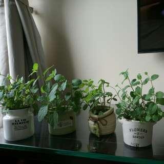 Organic Mint Garden