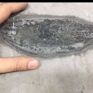 {FS138} Authentic Fish Fossil