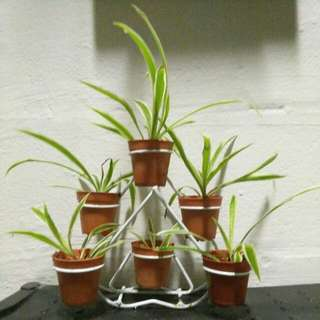 3-tiered Spider Plants setup