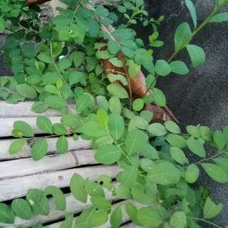 Jarno plant