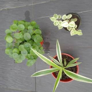 Promotion!!!! Pennywort , Peperomia, Spider Plant