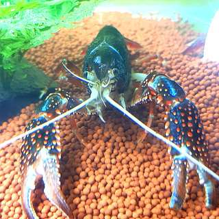 Ghost Crayfish babies
