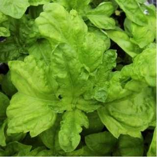 Lettuce Leaf Basil 'Napoletano' (Ocimum Basilicum) Herb Heirloom, 400 Seeds