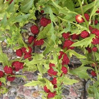 Strawberry Spinach (Chenopodium capitatum) Herbal Plant Seeds