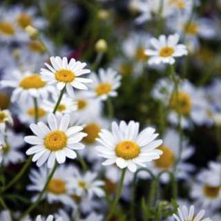 Herbal German Chamomile (Matricaria chamomilla) Flower Plant Seeds, Naturally Calming