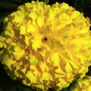 African Marigold 'Hawaii' (Tagetes Erecta L.) Flower Plant Seeds, XL Annual Heirloom, 145 Seeds