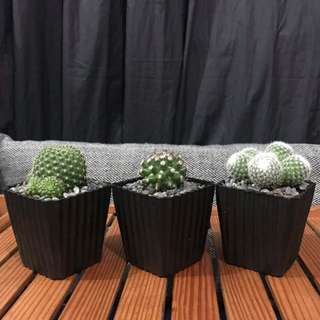 Brain cactus 🌵 contact me for orders 09177576918