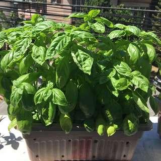 25 Fresh Basil Plants