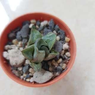Succulents (rare)