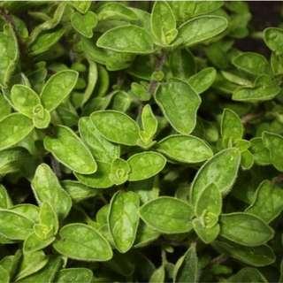 Oregano, Wild Marjoram (Origanum vulgare L.) Herbal Plant Seeds,