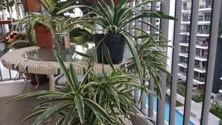 Spider plants healthy with more then 10 baby plants