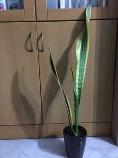 Snake plant/Sansevieria/ Mother in law Tongue in ceramic pot