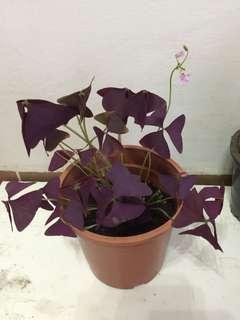 Purple shamrock/oxalis triangularis /love plant