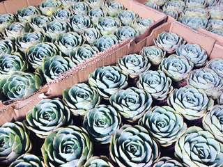 Succulent Giveaways