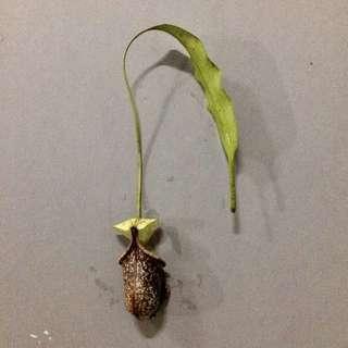 Pitcher plant cuttings (sans roots)