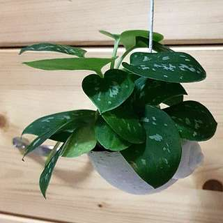 Hanging plant in seashell